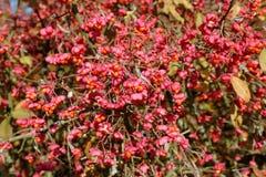 Opulente Niederlassungen des europäischen Spindel-Baum Euonymus europaeus mit reifen Samenkapseln Stockbild