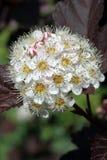 Opulifolius Diablo de Physocarpus Fotos de archivo libres de regalías