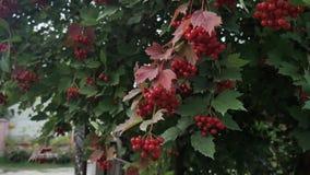 Opulus de Viburnum, Guelder Rose, branche avec les baies rouges en brise Projectile de plan rapproch? clips vidéos