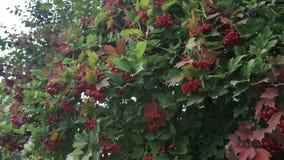 Opulus del Viburnum, Guelder Rose, rama con las bayas rojas en brisa Tiro del primer almacen de video
