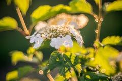Opulus di fioritura di viburno Fotografia Stock Libera da Diritti