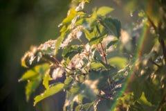 Opulus di fioritura di viburno del fiore bianco Fotografie Stock Libere da Diritti