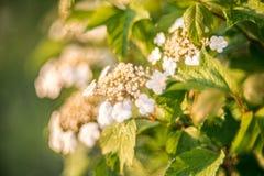 Opulus di fioritura di viburno del fiore bianco Fotografie Stock