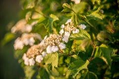 Opulus di fioritura di viburno del fiore bianco Fotografia Stock Libera da Diritti