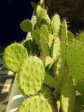 Opunita, cactus dell'orecchio Immagine Stock Libera da Diritti