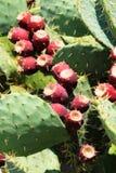 opuntia αχλάδι τραχύ Στοκ Φωτογραφία