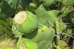 Opuntia εγκαταστάσεις τραχιών αχλαδιών Στοκ Εικόνες