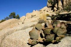 Opuntia κάκτων τραχιών αχλαδιών microdasys που αυξάνεται στους βράχους στην έρημο πετρών της Αριζόνα, ΗΠΑ Στοκ Εικόνες
