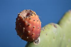 Opuntia λεπτομέρεια φρούτων σύκων κάκτων Στοκ εικόνα με δικαίωμα ελεύθερης χρήσης