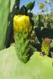 opuntia λουλούδι Στοκ φωτογραφία με δικαίωμα ελεύθερης χρήσης