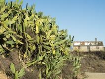 Opuntia- που αυξάνεται επίσης στην Πορτογαλία Στοκ Εικόνες