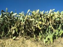 Opuntia- που αυξάνεται επίσης στην Πορτογαλία Στοκ φωτογραφίες με δικαίωμα ελεύθερης χρήσης