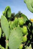 Opuntia πράσινα φρούτα και φύλλα Στοκ φωτογραφία με δικαίωμα ελεύθερης χρήσης