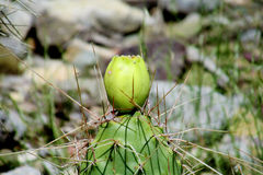 Opuntia πράσινα φρούτα Στοκ Εικόνες