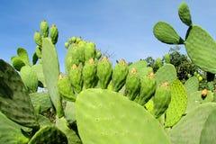 Opuntia πράσινα φύλλα και φρούτα Στοκ φωτογραφία με δικαίωμα ελεύθερης χρήσης