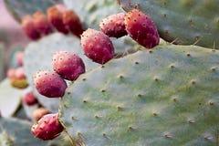 Opuntia φρούτα τραχιών αχλαδιών Στοκ Φωτογραφία