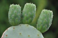 opuntia индейца смоквы Стоковая Фотография RF