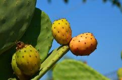 Opuntia индийской смоквы Стоковое Изображение