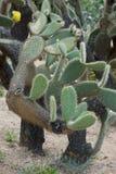 Opuntia кактуса Стоковое Изображение