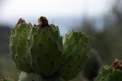 Opuntia фикус-indica Стоковые Изображения RF
