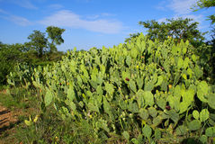 Opuntia. Shrubs in South Africa Stock Image