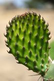 Opuntia. Opuncia, Nopal Royalty Free Stock Photo