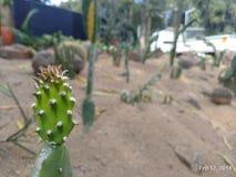 Opuntia zdjęcie stock