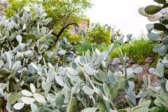 Кактус Opuntia в задворк весной Стоковые Изображения RF