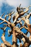 Opuntia Fotografia de Stock Royalty Free