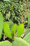 Opuntia Στοκ Εικόνα