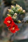 Opuntia bergeriana Στοκ Εικόνες