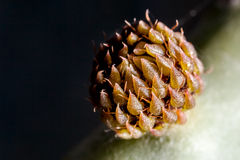 Opuntia Bud Stock Photo