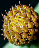 Opuntia Bud Royalty Free Stock Image