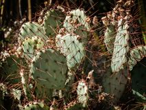 Opuntia cacti with buds and spines Royalty Free Stock Photography
