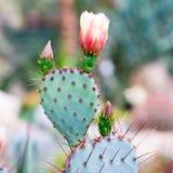 Opuntia, cacto com agulha e flor; Fotografia de Stock Royalty Free