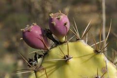 Opuntia, cactus Stock Images