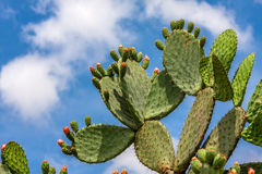 Opuntia cactus against blue sky. Stock Photo