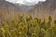 Opuntia cactus in arid mountains of Gran Canaria royalty free stock photo