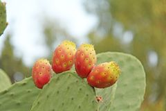 Opuntia Cactus and Cactus Fruits on the Blue Sky Background. Family Cactaceae. America, Mexico, Spain, Italy stock photos