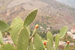 Opuntia Cactus and Cactus Fruits on the Blue Sky Background. Family Cactaceae. America, Mexico, Spain, Italy.  stock photo