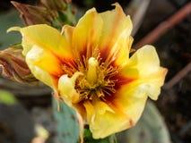 Opuntia cactus flower Stock Images