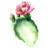 Opuntia cactus with flower isolated, watercolor painting Stock Photo