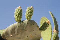 Opuntia cactus fruit on a leaf. Close-up of two unripe opuntia cactus fruit growing on a thick green leaf in front of the blue sky on a sunny summer day stock photo