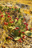 Opuntia cactus with fruits. Opuntia also known as prickly pears with red fruits Royalty Free Stock Images