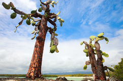Opuntia cactus at Galapagos island Royalty Free Stock Images