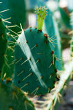 Opuntia cactus Stock Photos