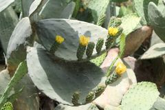 Opuntia cactus leaves with flowers and fruit. Unripe opuntia cactus fruit with yellow flowers growing on thick leaves in sunlight stock image