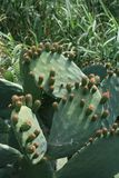 Opuntia cactus leaves with fruit. Unripe opuntia cactus fruit growing on thick leaves in sunlight stock photos