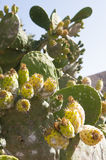 Opuntia cactus Royalty Free Stock Images