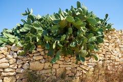 Opuntia cactus over the stone fence. Qrendi region, Malta. Opuntia cactus growing over the stone fence. Qrendi region, Malta Royalty Free Stock Photos